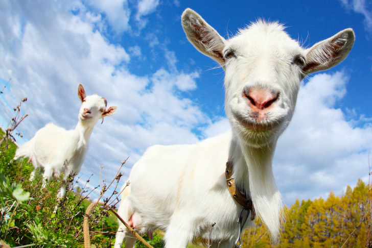 What's a Yard Goat? | The Baseball Sociologist