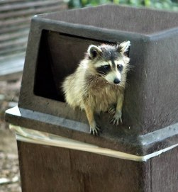 557px-Raccoon_getting_in_trouble_(cropped)